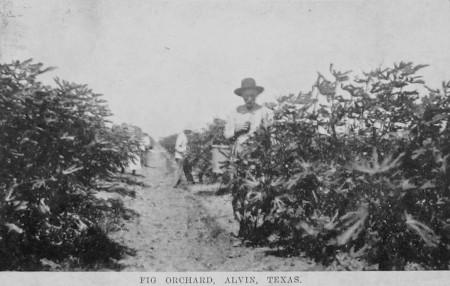 texas-fig-farmer_1909_alvin-tx_RPPC
