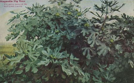 texas-fig-tree_ebay