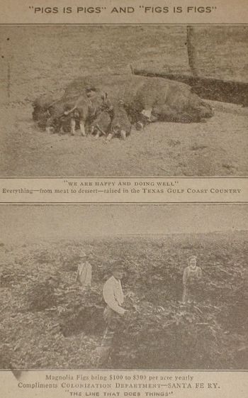 texas-figs-pigs_ebay